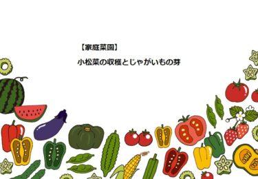 【家庭菜園】小松菜の収穫とじゃがいもの芽!